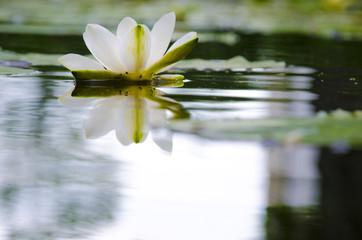 Seerose mit Spiegelung