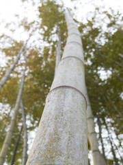 竹を下から見上げる
