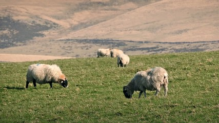 Sheep Eating Grass On Warm Summer Day