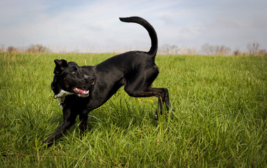 Black dog in green grassy field looking right