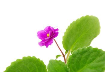 Blooming violet cultivar Sun Sizzle