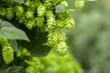 Leinwanddruck Bild - Green hops