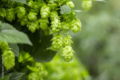 Leinwanddruck Bild Green hops