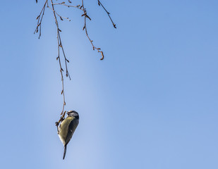 Blue tit hanging and eating buds from birch.