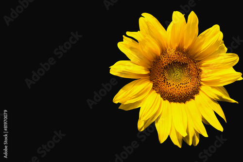 Foto op Canvas Zonnebloem Sunflower on black background