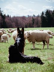 Hund mit Schaf