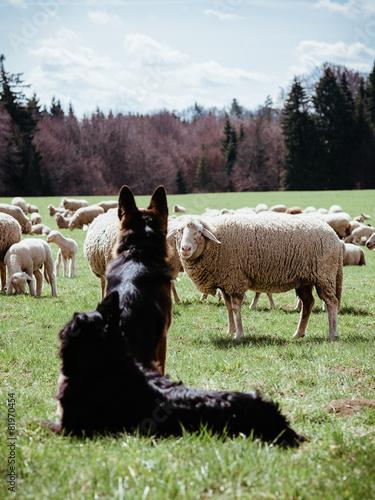Fotobehang Schapen Hund mit Schaf