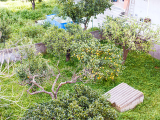 above view of lemon tree in backyard, Sicily