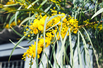 yellow blossom of Acacia tree close up in spring
