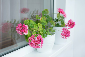 Pelargonium hortorum Flowers in a pot on the windowsill
