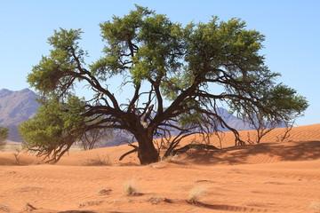 Akazie in der Wüste