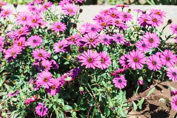 violet daisies (Osteospermum) on flower bed