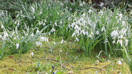 Closeup of spring snowdrops waving in the wind