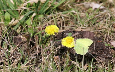 Closeup of butterfly on yellow dandelion
