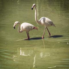 Pair of flamingos wading in mirroring water
