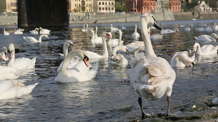 Closeup of relaxing and eating swans on river