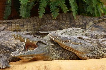 Crocodiles