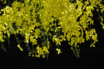 cassia fistula flower  with black background