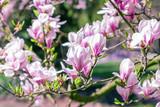Flowering branches of magnolia tree (Magnolia × soulangeana)