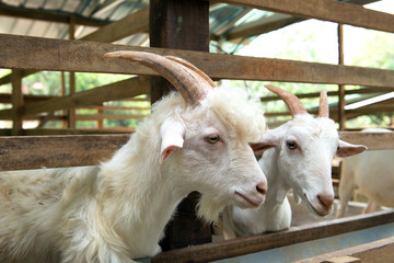 Goats in farm