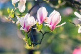 Magnolia Blossoms (Magnolia × soulangeana)
