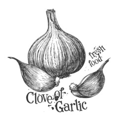 garlic on a white background. sketch
