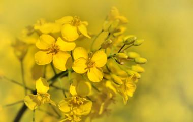 fleurs de colza sur fond jaune