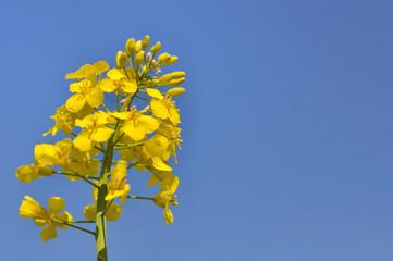 fleur de colza sous ciel bleu