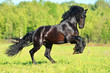 Black Frieasian horse runs gallop in freedom - 81980884