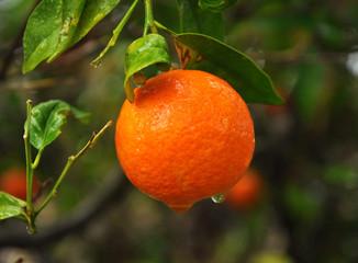 Mandarine oranges , Sweet tangerine, Fruits on tree