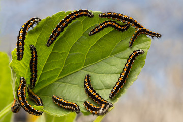 caterpillars devour the leaves