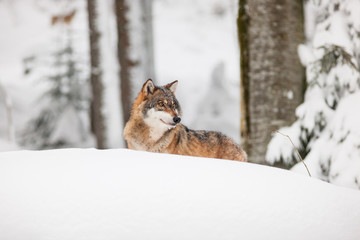 portrait grey wolf in the snow