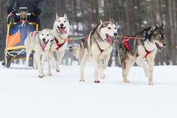 sled dog race on snow in winter