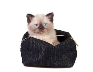 Cute little siamese kitten sitting in the beautician