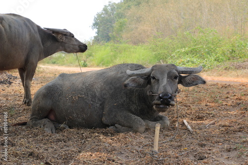 In de dag Buffel buffalo