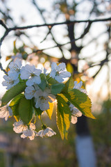 spring tree with white flowers and green leaf in orchard garden