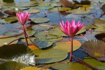 "pink lotus in lotus swamp at ""Talay-Noi"" Pattalung province ,Tha"