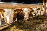 Kühe beim Füttern im Stall