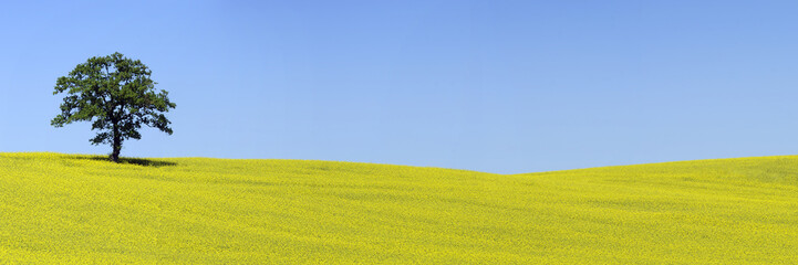 Panoramica di colza e quercia solitaria