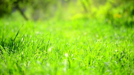 Spring Meadow. Green Grass Background