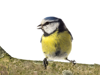 Perched blue tit looking to the left with open beak