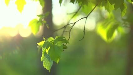 Nature spring green leaves. Sunbeams