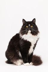Black and white siberian cat