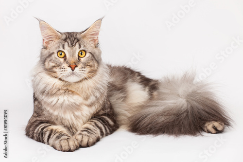 Maine Coon Cat - 81994093