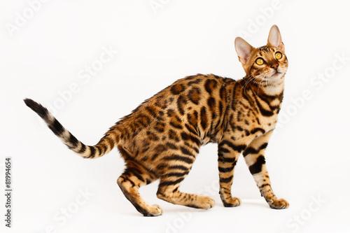 Foto Spatwand Luipaard Bengal Cat