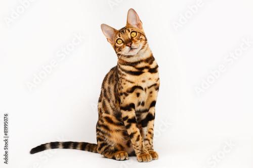 Papiers peints Leopard Bengal Cat