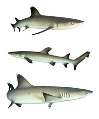 Whitetip Reef Sharks isolated on white background