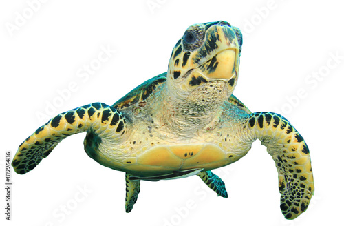 Foto op Canvas Schildpad Hawksbill Sea Turtle isolated on white