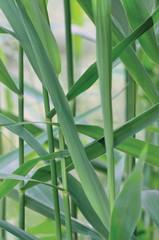 Common Reed Phragmites Leaf Australis Cav. P. Communis Trin.