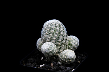 Mammillaria Humbodtii Cactus